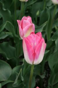 Tulip, Triumph 'Dynasty'