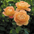 Modern_roses_rosa_lady_of_shalott.small