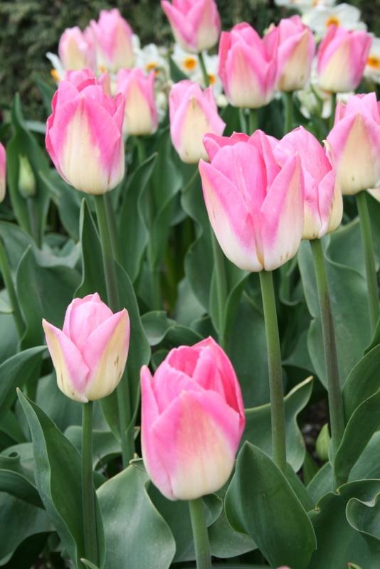 Tulips_tulipa_dynasty-3.full