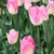 Tulips_tulipa_dynasty-3.small
