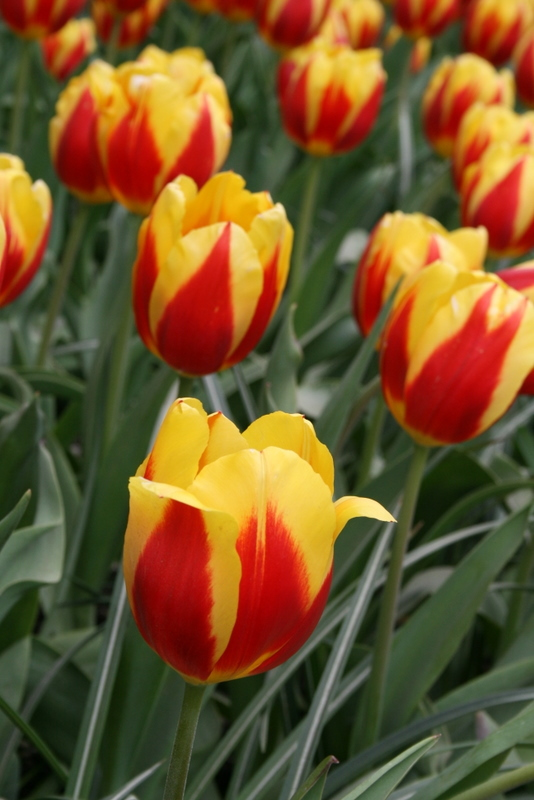 Tulips_tulipa_keizerskroon-3.full