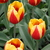 Tulips_tulipa_keizerskroon-3.small
