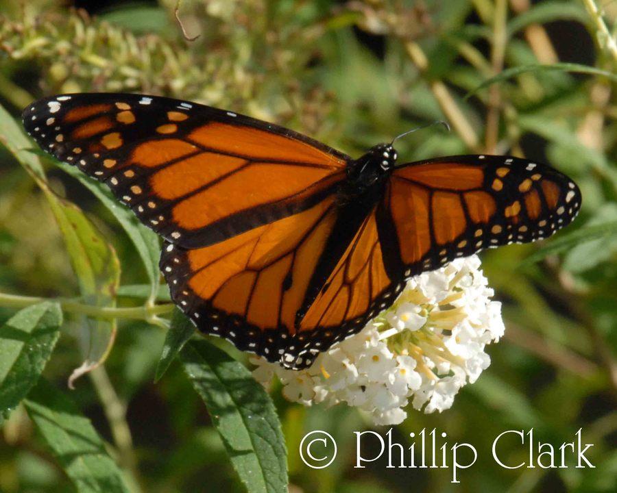 Monarch.full