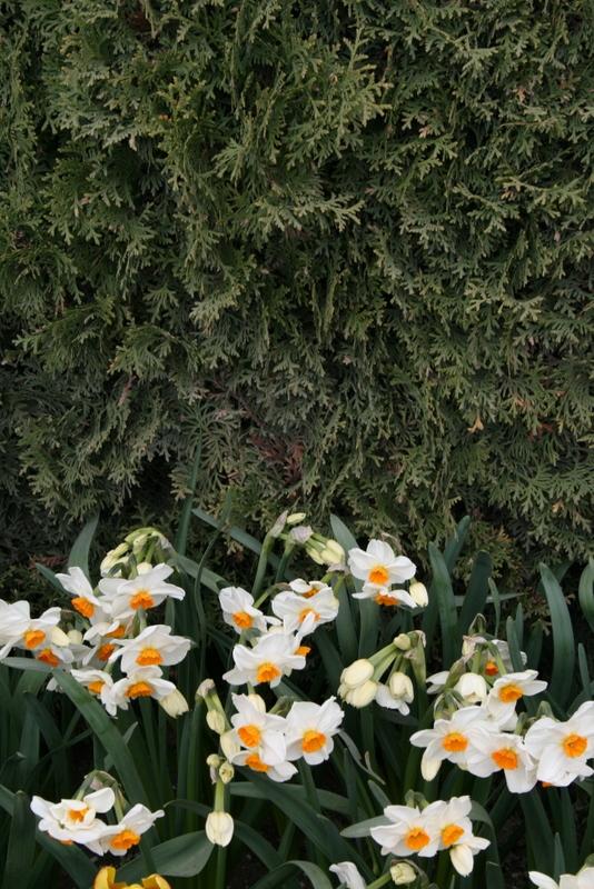 Daffodils_and_narcissus_narcissus_tazetta_geranium-5.full