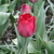 Tulips_tulipa_atilla_graffiti-3.small