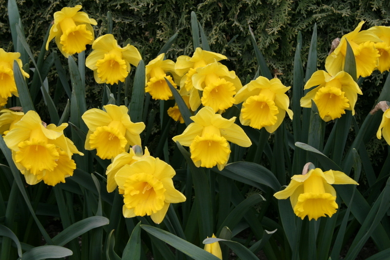 Daffodils_and_narcissus_narcissus_standard_value-1.full