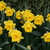 Daffodils_and_narcissus_narcissus_standard_value-1.small