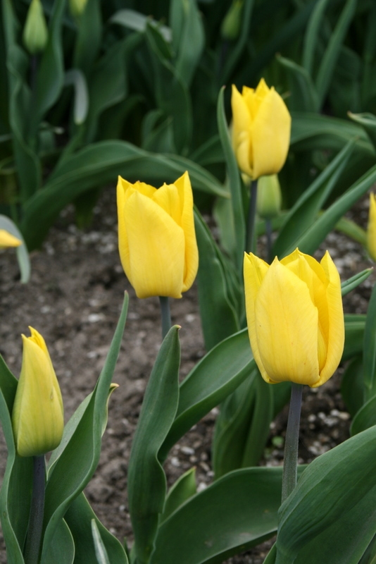Tulips_tulipa_yokohama-4.full