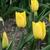 Tulips_tulipa_yokohama-4.small