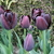 Tulips_tulipa_queen_of_night-4.small