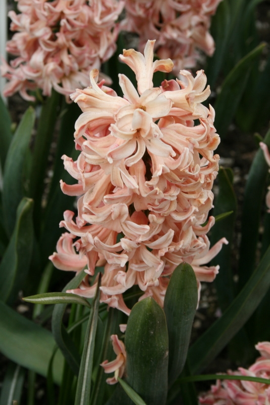 Hyacinths_hyacinthus_orientalis_gypsy_queen-5.full