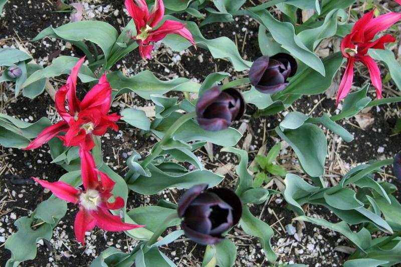 Tulips_tulipa_scarlet_pimpernel-3.full