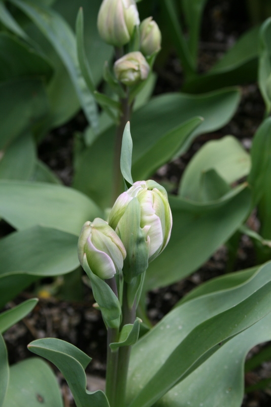 Tulips_tulipa_angelique-2.full