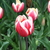 Bulbs_tulipa_merry_widow-4.small