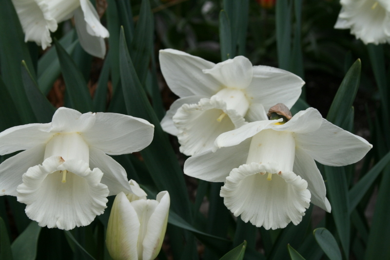 Daffodils_and_narcissus_narcissus_mount_hood-3.full