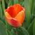 Tulips_tulipa_apeldorn_s_elite-3.small