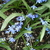 Bulbs_scilla_siberica-2.small