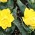 Tulips_tulipa_monte_carlo-4.small