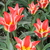 Tulips_tulipa_plaisir-5.small