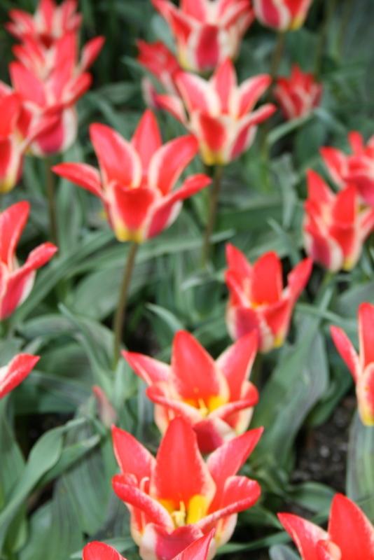 Tulips_tulipa_plaisir-5.full