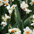 Daffodils_and_narcissus_narcissus_tazetta_geranium-5.small