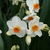 Daffodils_and_narcissus_narcissus_tazetta_geranium-5.small