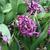Hyacinths_hyacinthus_orientalis_amethyst-2.small