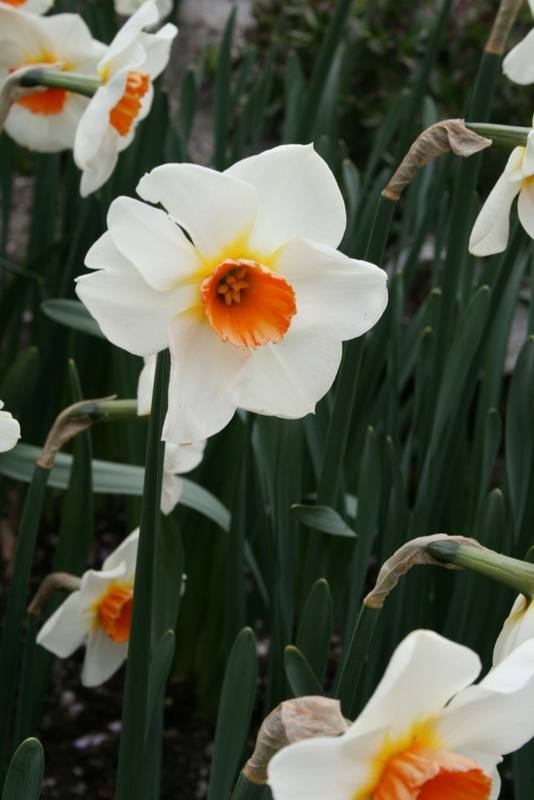 Daffodils_and_narcissus_narcissus_red_hill-2.full