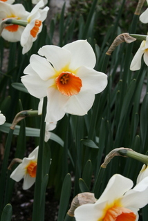 Daffodil, Large Cupped 'Red Hill'