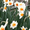 Daffodils_and_narcissus_narcissus_red_hill-2.thumb