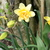 Daffodils_and_narcissus_narcissus_texas-4.small
