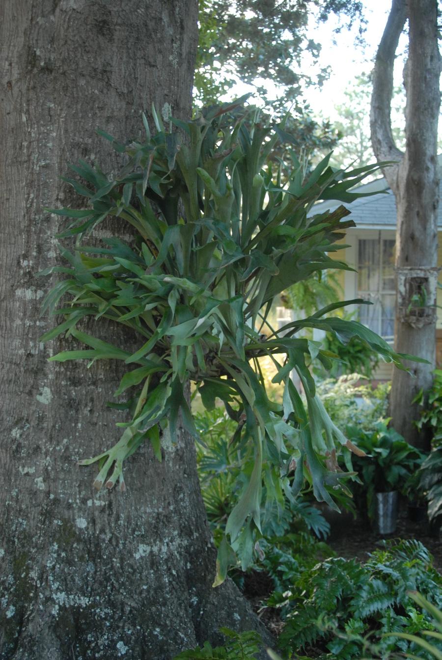 Tropicals_platycerium_bifurcatum-1.full