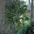 Tropicals_platycerium_bifurcatum-1.small