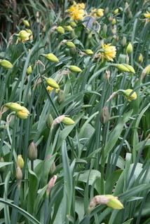 Daffodil, Double 'Texas'