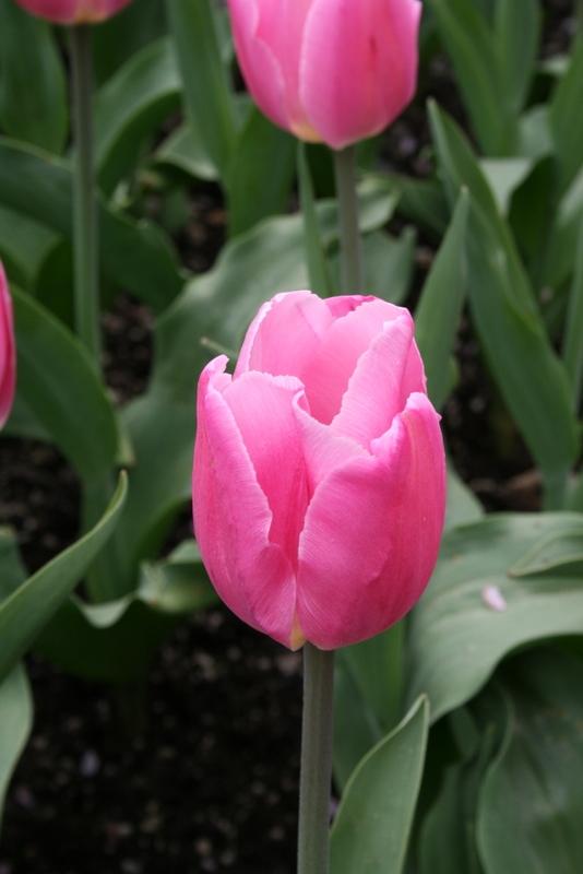 Tulips_tulipa_christmas_marvel-4.full