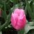 Tulips_tulipa_christmas_marvel-4.small