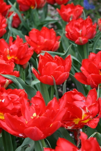 Tulip, Double 'Abba'