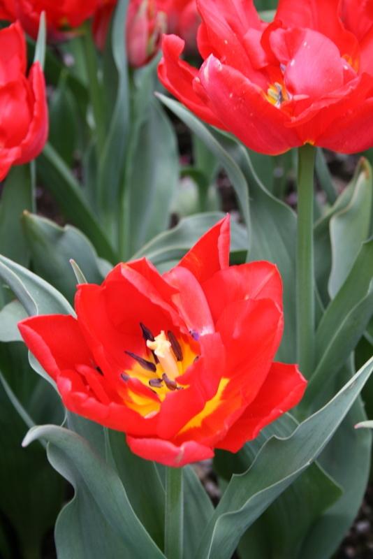 Tulips_tulip_abba-3.full