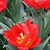Tulips_tulip_abba-3.small
