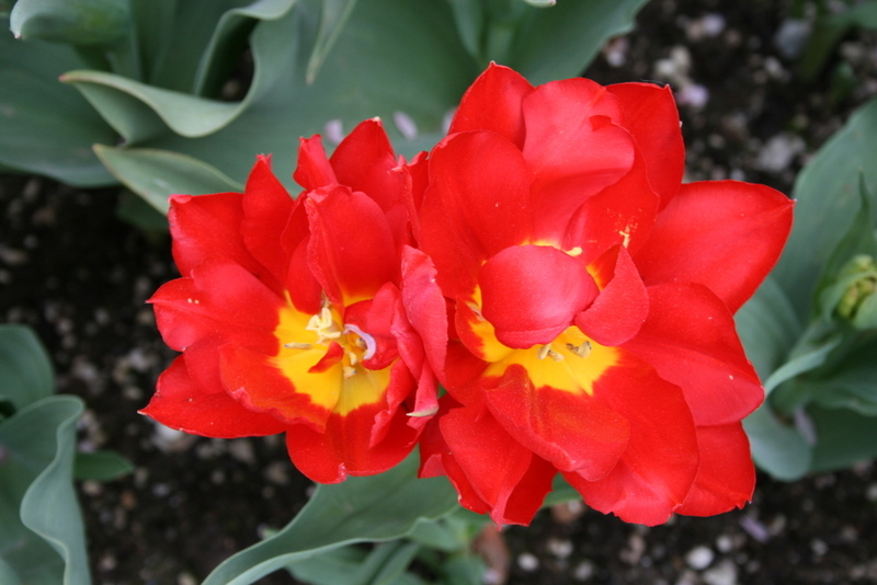Tulips_tulip_abba-3.full