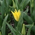 Tulips_tulipa_seattle-1.small