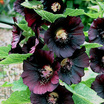 Hollyhocks_alcea_rosea_black_watchman-2.thumb
