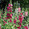 Hollyhocks_alcea_rosea_indian_spring-2.thumb