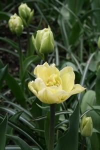 Tulip, Double 'Montreux'