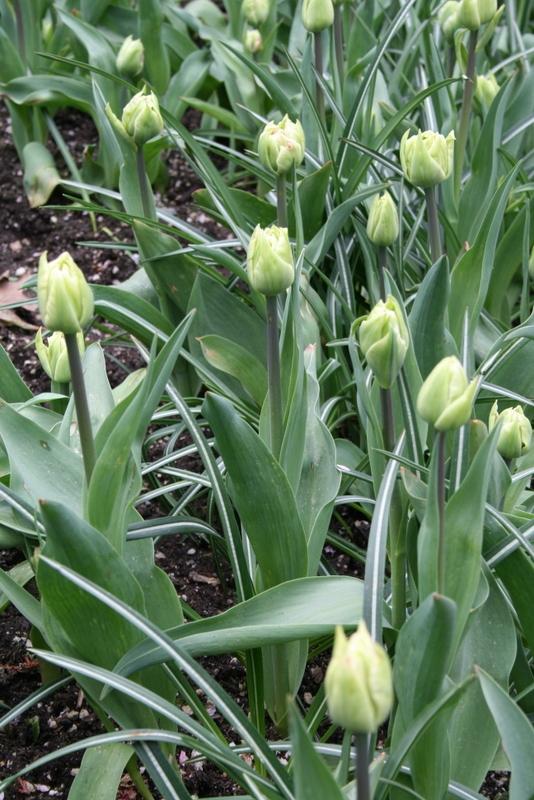 Tulips_tulipa_montreux-3.full