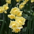 Daffodils_and_narcissus_narcissus_yellow_cheerfulness-4.small