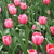 Tulips_tulipa_pink_impression-4.small