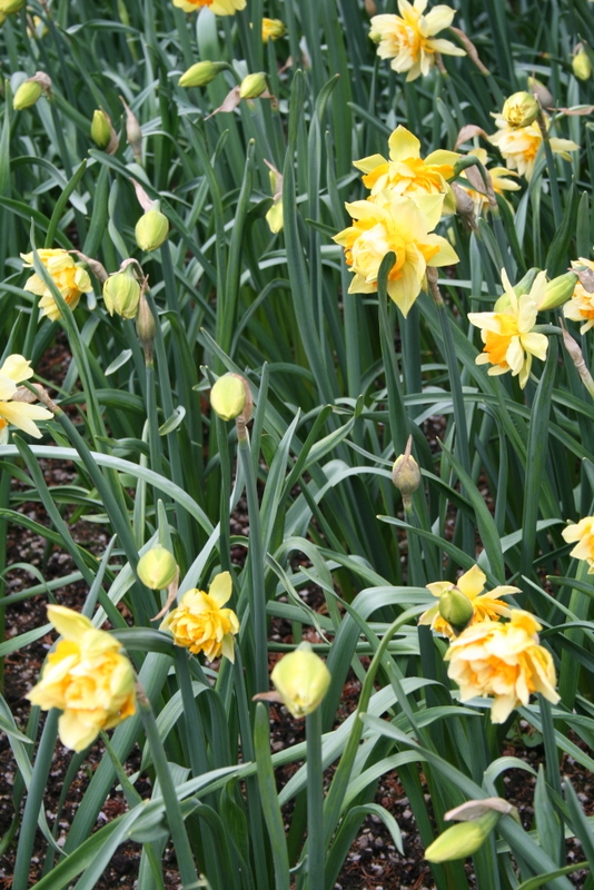 Daffodils_and_narcissus_narcissus_texas-4.full