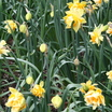 Daffodils_and_narcissus_narcissus_texas-4.thumb