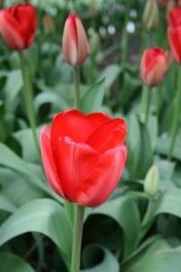 Tulip, Darwin 'Red Impression'